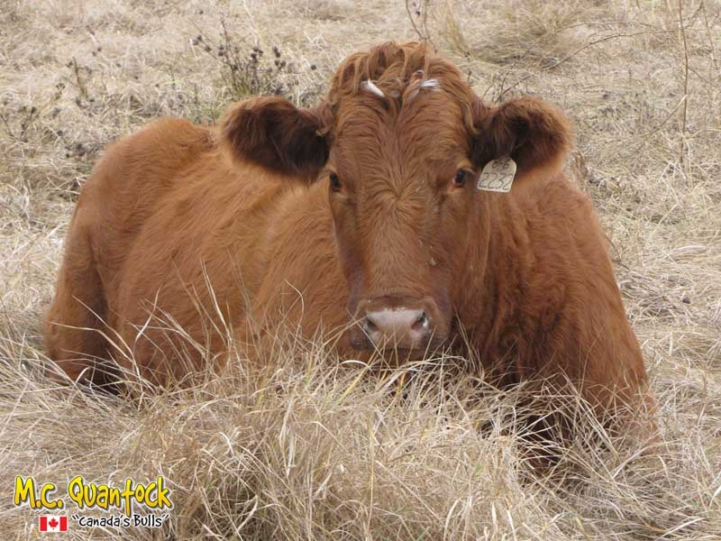 Red Angus x Gelbvieh Bred Heifers For Sale