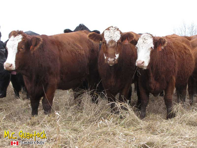 Red Angus x Simmental Bred Heifers For Sale
