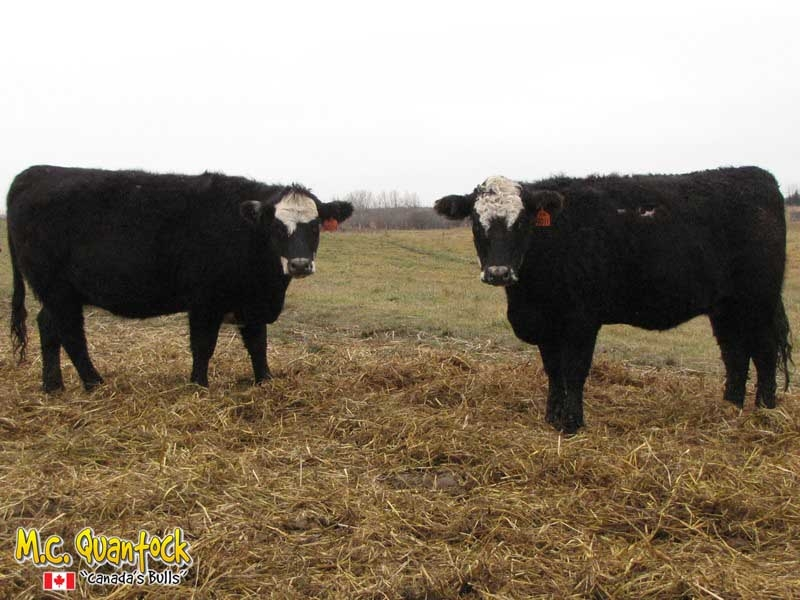 Black Angus Simmental Bred Heifers For Sale