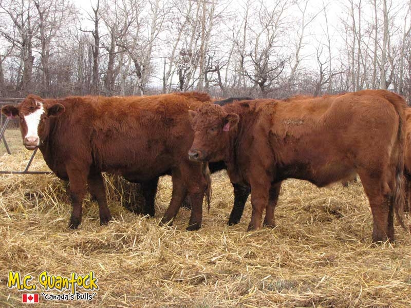 Red Angus Gelbvieh Bred Heifers For Sale