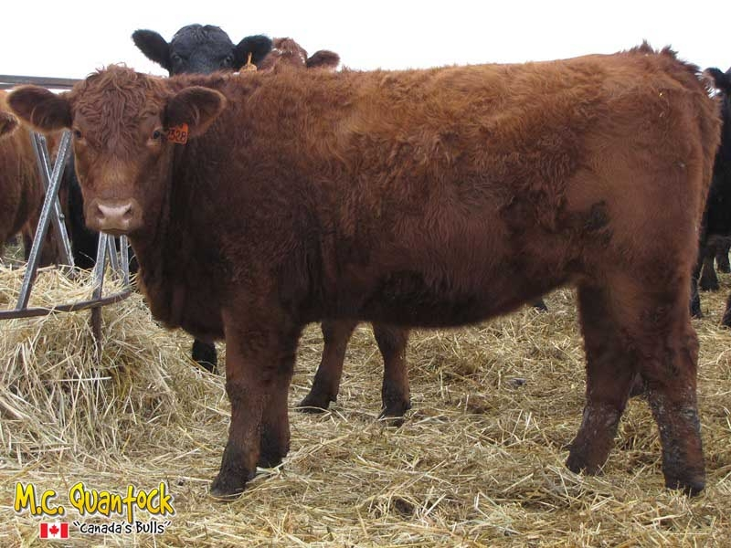 Red Angus Simmental Bred Heifers For Sale