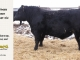 black-angus-bull-for-sale-5---_8476