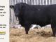 black-angus-bull-for-sale-5173_8480