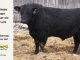 black-angus-bull-for-sale-5173_8488