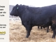 black-angus-bull-for-sale-5173_8502