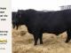 black-angus-bull-for-sale-5201_8523