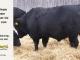 black-angus-bull-for-sale-5201_8526