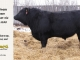black-angus-bull-for-sale-5208_8513