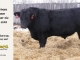 black-angus-bull-for-sale-5208_8515