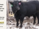 black-angus-bull-for-sale-5219_8486