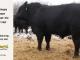 black-angus-bull-for-sale-5219_8495