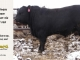 black-angus-bull-for-sale-5219_8507