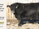black-angus-bull-for-sale-5245_7997