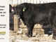 black-angus-bull-for-sale-5245_7999