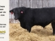 black-angus-bull-for-sale-5246_8544