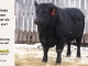 black-angus-bull-for-sale-5247_8518