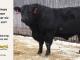 black-angus-bull-for-sale-5247_8520