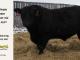 black-angus-bull-for-sale-5247_8528