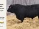 black-angus-bull-for-sale-5247_8532