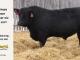 black-angus-bull-for-sale-5247_8533