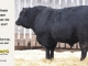 black-angus-bull-for-sale-5247_8543