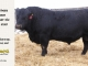 black-angus-bull-for-sale-5248_8546