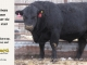 black-angus-bull-for-sale-5258_8527