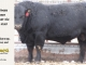 black-angus-bull-for-sale-5258_8537