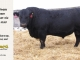black-angus-bull-for-sale-5258_8547