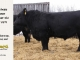 black-angus-bull-for-sale-5279_8465