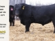 black-angus-bull-for-sale-5279_8466