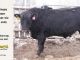black-angus-bull-for-sale-5302_8487