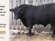 black-angus-bull-for-sale-5372_8521