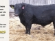 black-angus-bull-for-sale-5380_8492