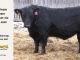 black-angus-bull-for-sale-5380_8494