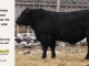 black-angus-bull-for-sale-5380_8500