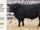 black-angus-bull-for-sale-5380_8501