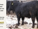 black-angus-bull-for-sale-5380_8510