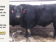 black-angus-bull-for-sale-5388_8446
