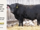 black-angus-bull-for-sale-5409_8438