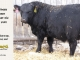 black-angus-bull-for-sale-5409_8439