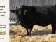 black-angus-bull-for-sale-5421_8012