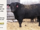 black-angus-bull-for-sale-5422_8457