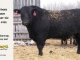 black-angus-bull-for-sale-5422_8458
