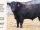 black-angus-bull-for-sale-5422_8459