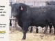black-angus-bull-for-sale-5422_8475