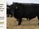 black-angus-bull-for-sale-5423_8462