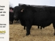 black-angus-bull-for-sale-5423_8463