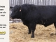 black-angus-bull-for-sale-5428_8467