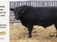 black-angus-bull-for-sale-5428_8468